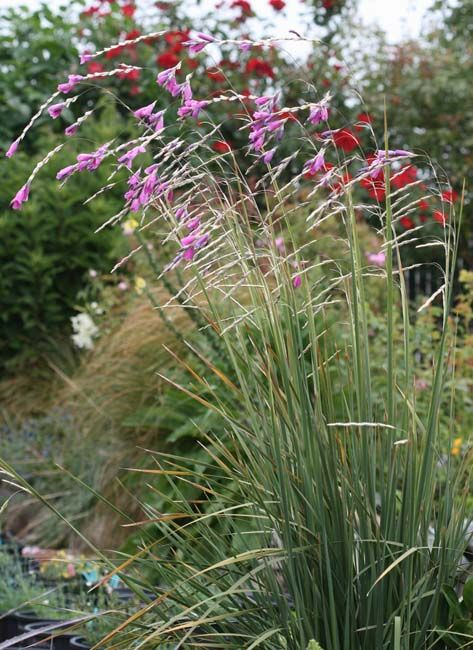 Dierama pulcherrimum fairy wand flower looks like for Grass like flowering plants