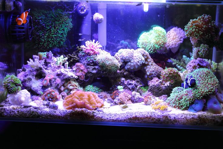 The insatiable fluval edge my first nano reef reef for Aquarium recifal nano