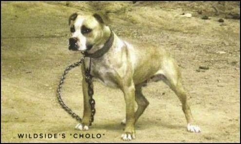 WILDSIDE,S CHOLO -HEAVY NIGERINO DOG/INBRED JOE BOB/GOOD