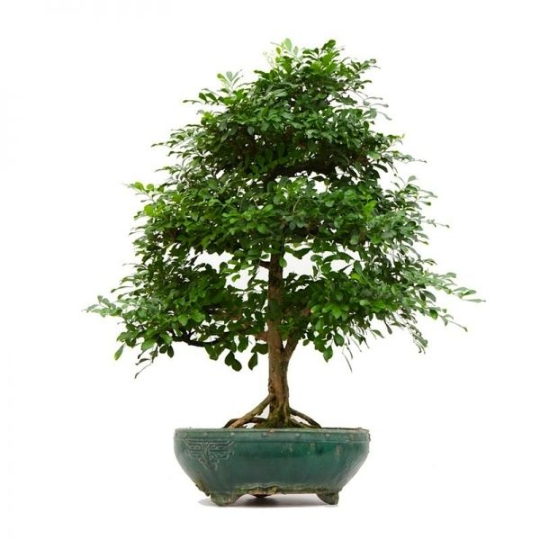 Vente de bonsai murraya paniculata 95 cm mur2013 21 for Achat plante en ligne
