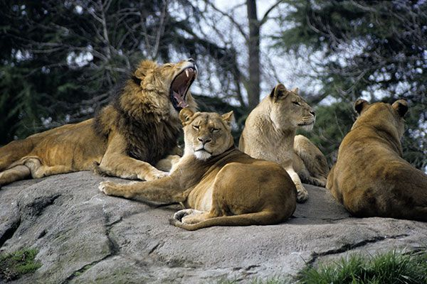 Lions, Tigers, Leopards, Cheetahs and Other Cats