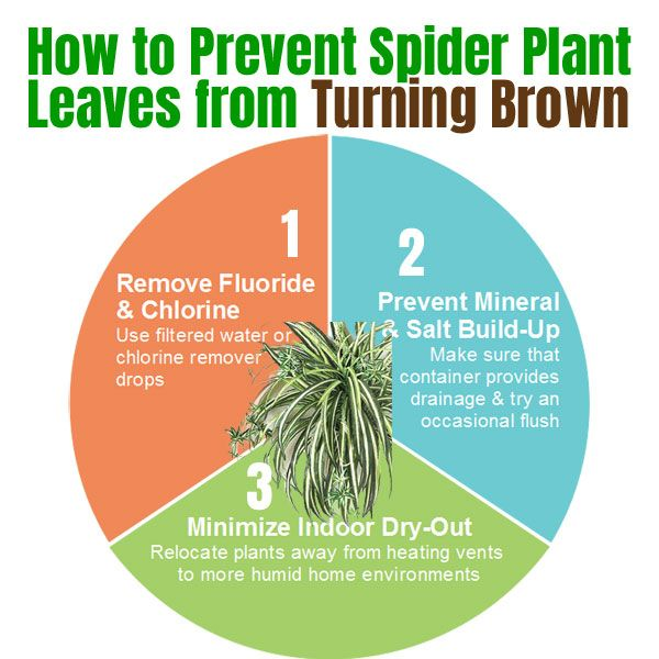 How To Fix Spider Plant Brown Tips 3 Different Ways In 2020 Spider Plants Plant Leaves Turning Brown Plants