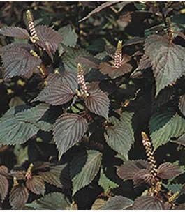 Perilla frutescens - Benefici dell'olio di perilla