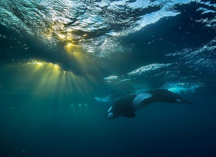 www.pegasebuzz.com | Orca, orque, killer whale, black fish, Norway, by Audun Rikardsen.