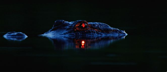 An alligator has a tapetum lucidum at the back of each eye, which reflects light back into the photoreceptor cells to make the most of low light, and causes its eyes to glow red.