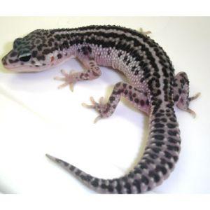 gecko leopardo mack super snow