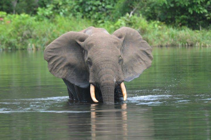 Wali Bai forest elephant