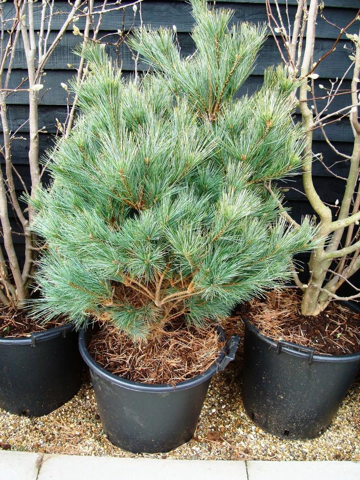 Pinus Strobus Nana Dwarf Pine Tree Trees Garden