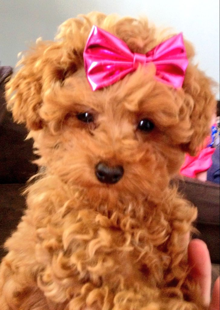 Red Toy Dogs : Best red toy poodle images on pinterest poodles