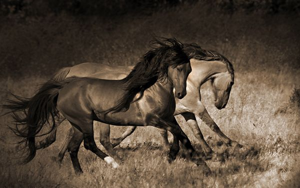 WILD-HORSE-PHOTO-0090 - The Magnificent Chief