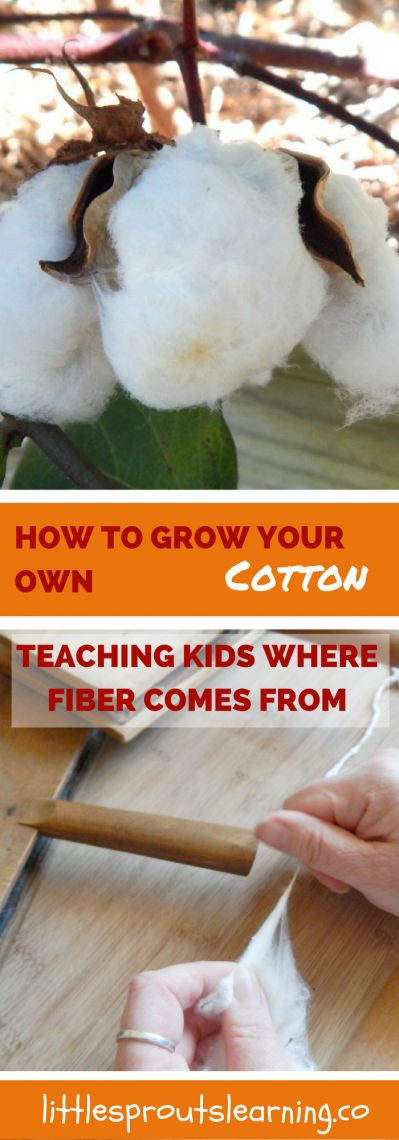 http://littlesproutslearning.co/how-to-grow-your-own-cotton/