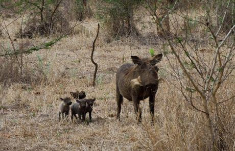 Talk about cuteness overload at Shiduli! We came across this proud Mum showing off her days old piglets! She even allowed us enough time to take a few pics before retreating back into the safety of the bushes!