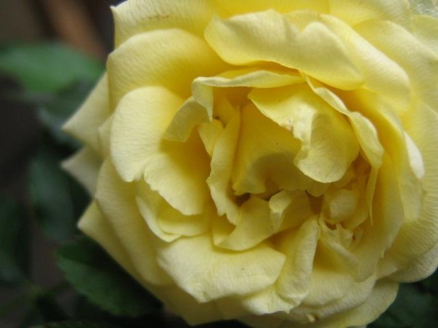 Miniature Rose Photo by M.Maskowitz