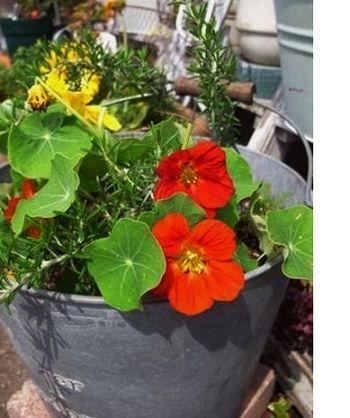 赤と黄のナスタチウムと垂れ下がるタイプのローズマリー(プロストラタス)を大きなバケツに。  ナスタチウムの花やつぼみ、葉のピリッとした辛味は、わさびとそっくり。サラダやサンドイッチのアクセントになってくれます。