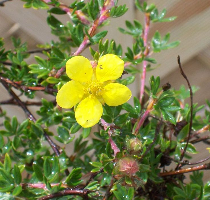 Potentilla Fruticosa Elizabeth Cinquefoil Online From Jacksons Nurseries