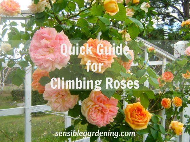 Climbing roses make a beautiful addition to any garden. Nothing looks quite as lovely as a beautiful rose climbing over a trellis, pergola, fence or arbor.