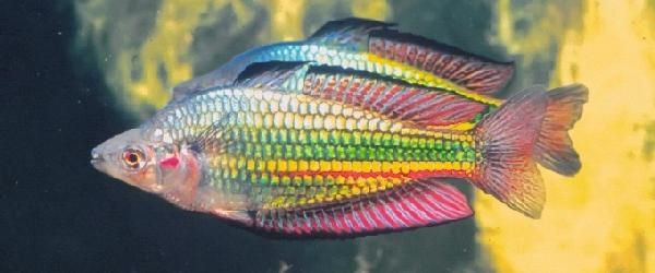 Melanotaenia duboulayi (Kangaroo Creek) - Foto © Günther Schmida (tratta da Home Of The Rainbowfish)