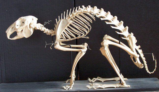 Скелет зайца картинка
