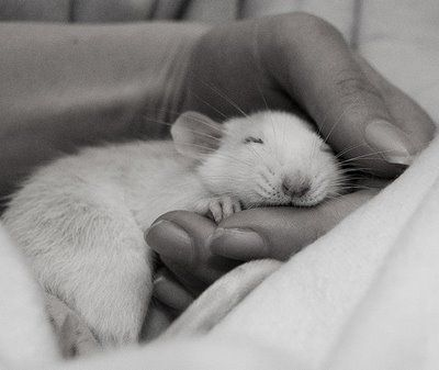 The Daily Cute: Of Mice and Men... and Rats