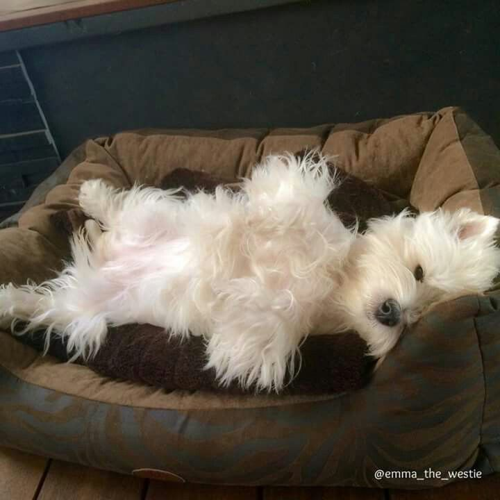Emma The Westie in Facebook