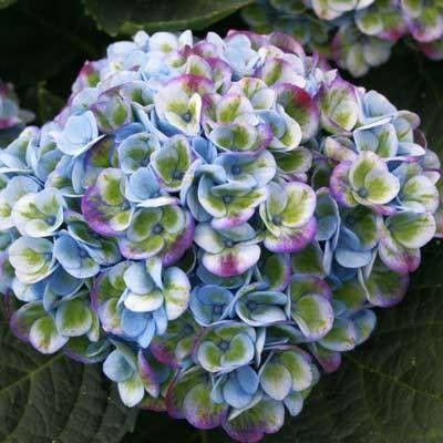 Hydrangea macrophylla 'Magical Revolution' Blauw