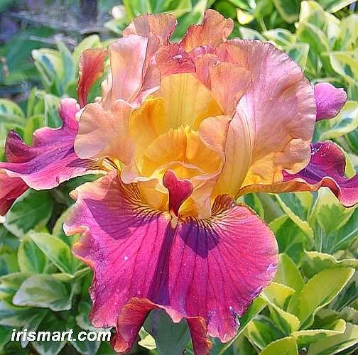 Tall Bearded Iris 'Rare Blossom'