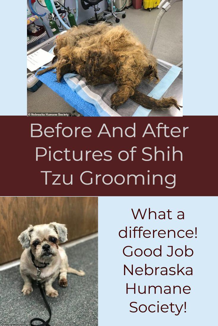 Grooming A Shih Tzu Shih Tzu Humane Society Shih Tzu Grooming
