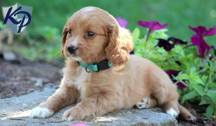 Misty – Cavapoo Puppies for Sale in PA | Keystone Puppies