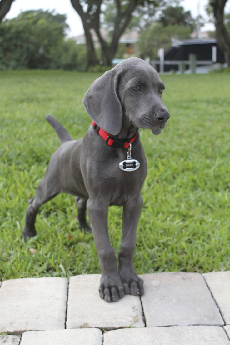 Our two month old blue weimaraner, Duke IV, on point!