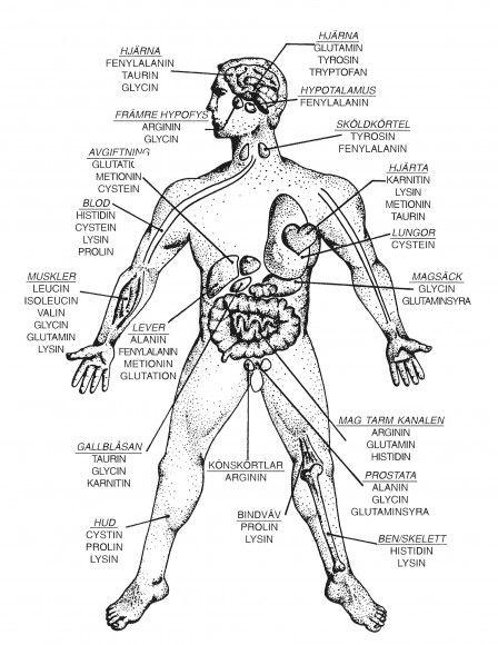 En ritad mankropp ger en anatomisk beskrivning