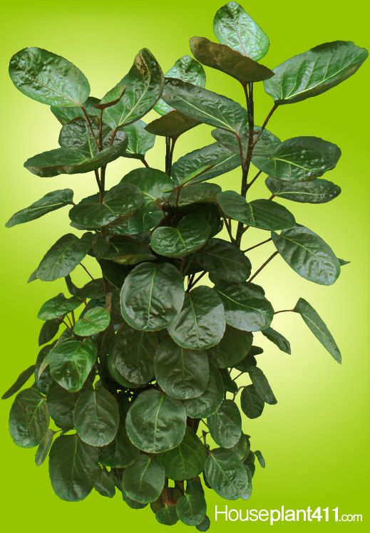round leaf house plants designs - House Plant Identification By Leaf