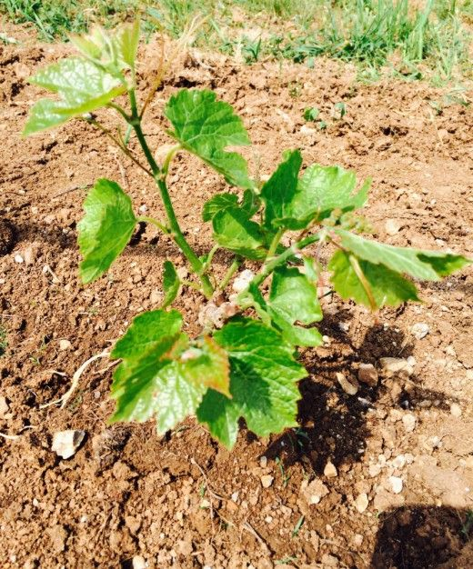 Особенности ухода за виноградником