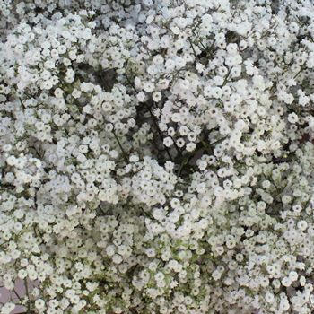MillionStar Baby's Breath - 10 bunches for $120, 20 bunches for $190
