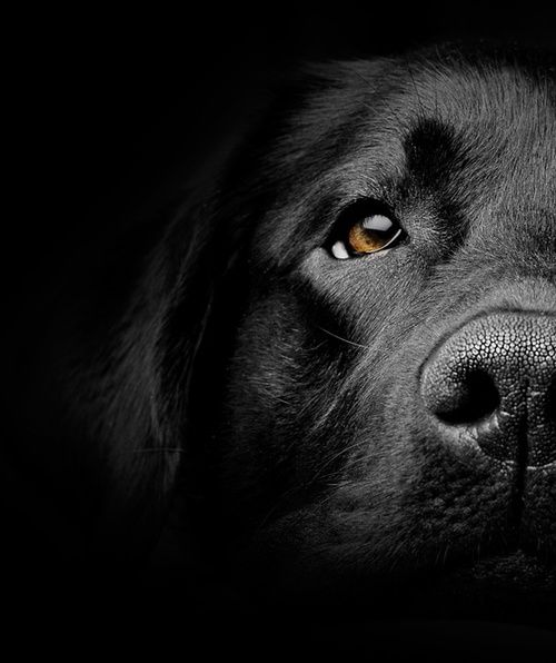 Portrait gros plan chien noir Close up portrait black dog