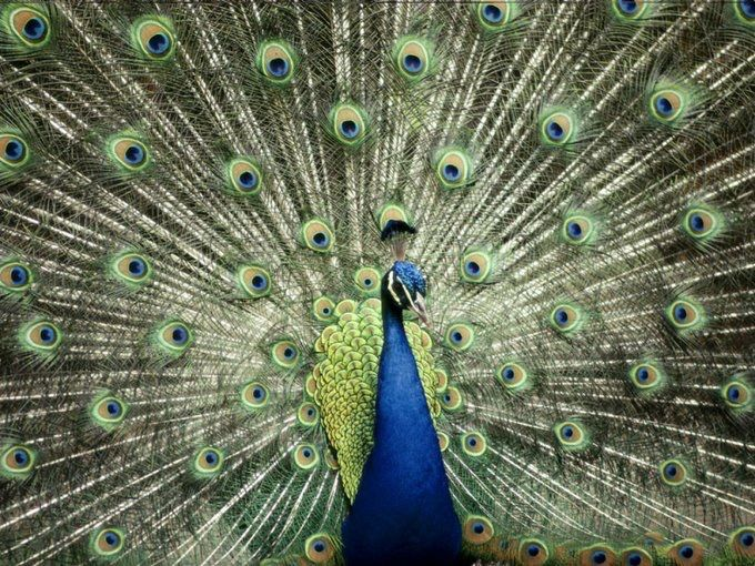 طاووس هندي يستعرض جمال ألوان ريشه لدى محمية أسترالية يقيم فيها إذ يعمد هذا الذكر إلى اتباع هذه الطريقة في سبيل جذب و Color Of Life Animal Photography Peacock