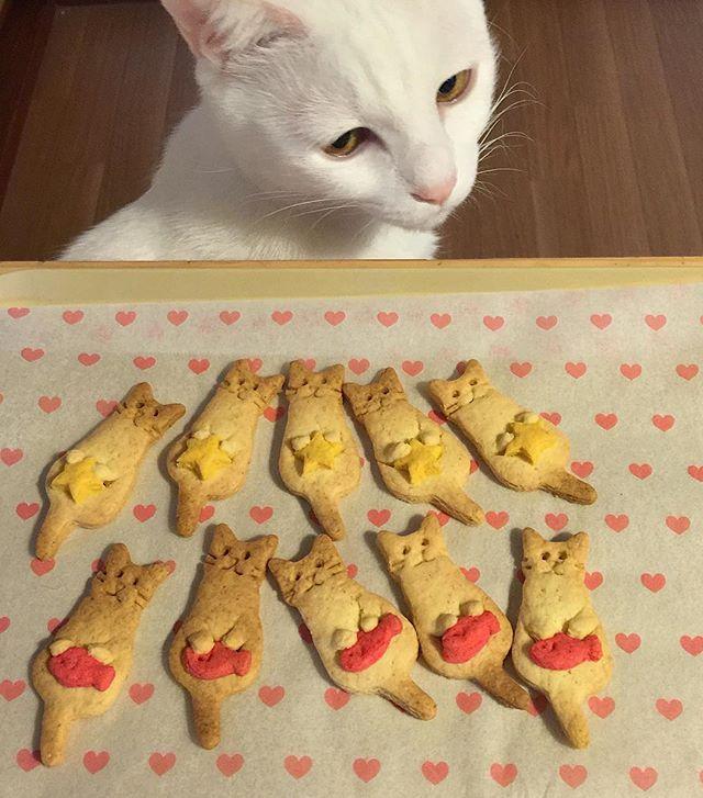 バレンタインですね ① ジト目で#ねこクッキー を見る…おこちゃん❤︎ #宇野クッキー #八おこめ #ねこ部 #cat #ねこ #八おこめ食べ物 #クッキー
