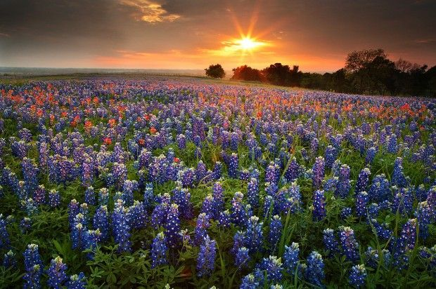 Texas Wild Flowers: Texas Wildflowers, Sunsets, Blue Bonnets, Beautiful Places, Texas Bluebonnets, Photo, Texas Hill Country, Sugar Ridge, Wild Flowers