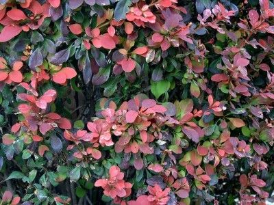 Barberry plant information growing and caring for for Garden plant information