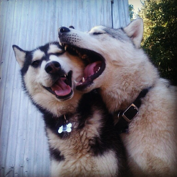 Husky love<3