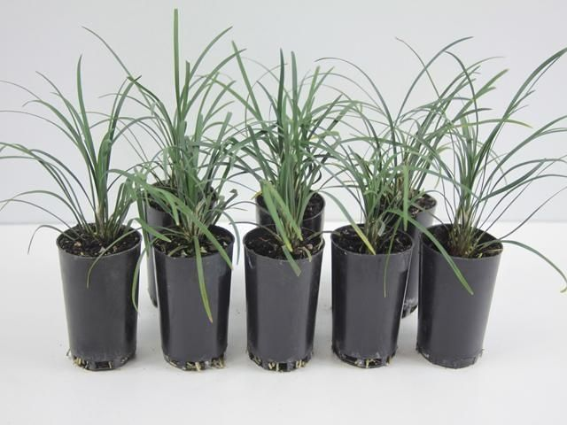 Ophiopogon Japonicus | Mondo Grass | Free Shipping