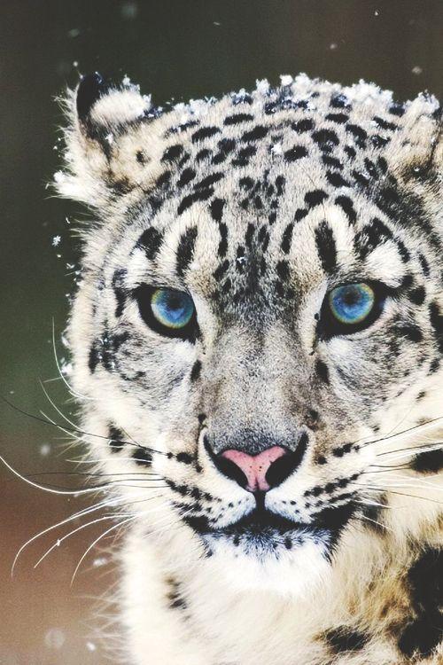 snow leopard beautiful blue eyes stunning animal cat                                                                                                                                                                                 More