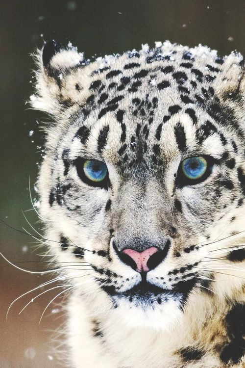 snow leopard beautiful blue eyes stunning animal cat
