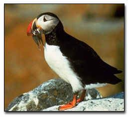 The Atlantic Puffin - official bird of Newfoundland and Labrador