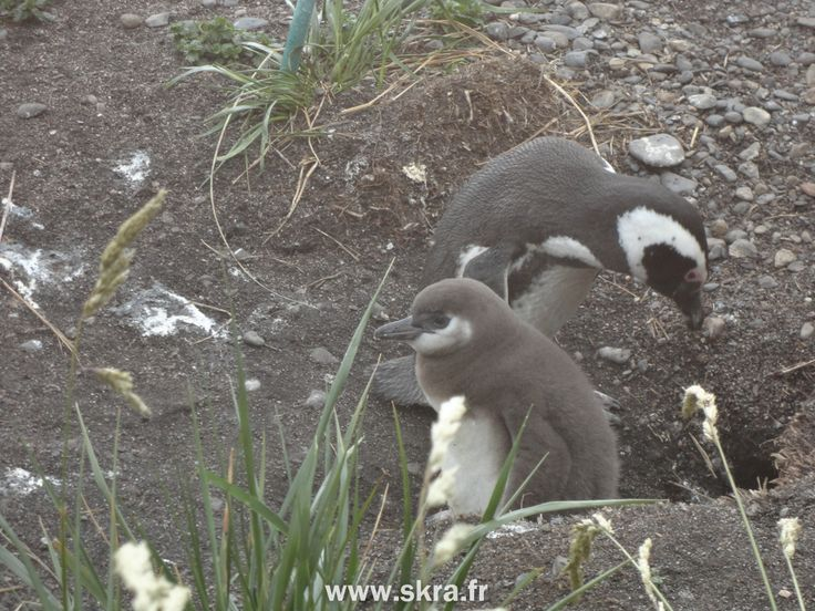 Manchot & petiot, Patagonie la Terre de Feu