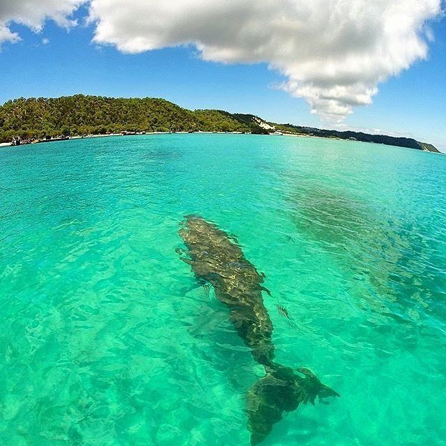"""Follow me the Tangalooma Wrecks are right this way..."" - when cruising off @queensland's Moreton Island your tour guide may just come in the shape of a dugong! @aaronmiller84 captured this shot on a @goproanz as part of a @dolphinsinparadise eco cruise. Don't worry if you're short on time - the island is an easy day trip from @visitbrisbane and by the time you've snorkelled with turtles and dolphins explored the famous wrecks eaten an epic buffet lunch and fallen asleep on a sandy beach…"