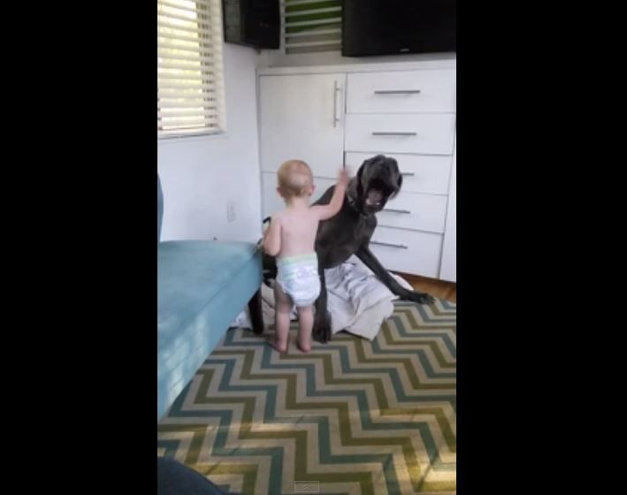 Baby teaches Great Dane who is in charge, In this below section, you will get to see a video where the baby shows to a dog who is the real boss. We have seen the siblings fight against each other at the home and make some funny incidents. These are such a type of incident which becomes …