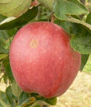 Malus domestica 'Starkrimson Delicious' - jabloň domáca (KOHAPLANT)