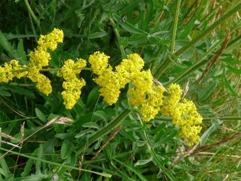 Ladys Bedstraw: lie back and relax | The Nature of Dorset