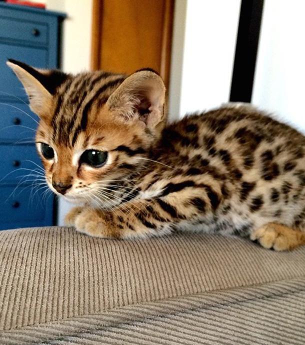 10 petits chaton Bengal qui vont vous faire fondre sur place !