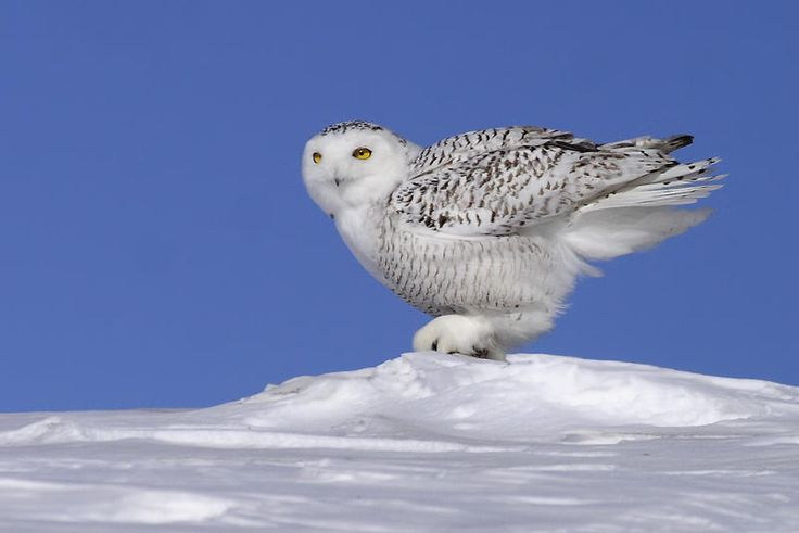 Snowy Owl (Bubo scandiacus). Photo by Rachel Bilodeau.